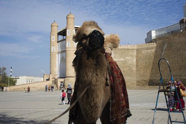 観光要員のラクダさん