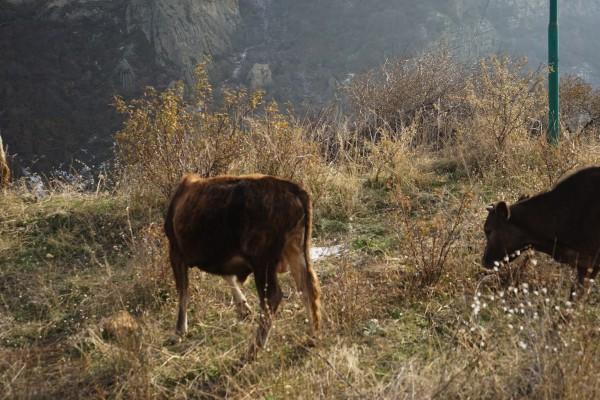 牛がいっぱい1