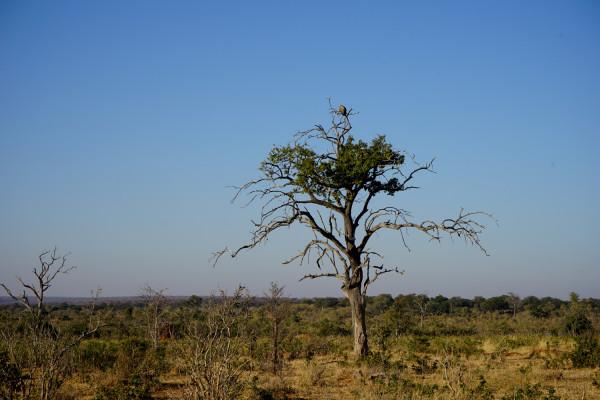 アフリカぽい木